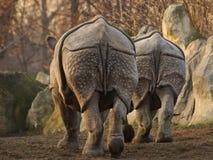 Unicornis носорога индийского носорога Стоковые Изображения RF