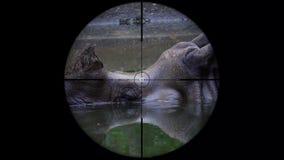 Unicornis de cuernos indios de un rinoceronte del rinoceronte vistos en alcance del rifle del arma Caza de la fauna El escalfar e almacen de metraje de vídeo