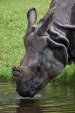 Unicornis de rhinocéros de rhinocéros indien Photographie stock libre de droits