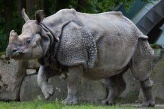 Unicornis de rhinocéros de rhinocéros indien Images libres de droits