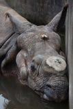 Unicornis de rhinocéros de rhinocéros indien Photos stock