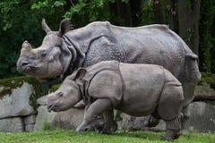 Unicornis de rhinocéros de rhinocéros indien Photographie stock
