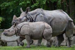 Unicornis de rhinocéros de rhinocéros indien Image libre de droits