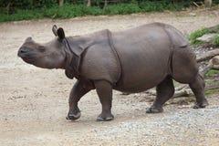Unicornis de rhinocéros de rhinocéros indien Image stock