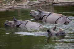 Unicornis de rhinocéros de rhinocéros indien Images stock