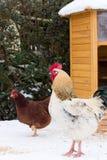 Unidad-pollo y gallina en nieve fotos de archivo libres de regalías