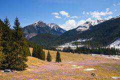 Unidefined tourists visit Chocholowska Valley. Crocus flowers blooming in spring are great Stock Image