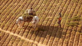 Unidentified Burmese farmer work at rice field. Bagan. Myanmar (Burma). BAGAN, MYANMAR - DEC 22, 2014: Unidentified Burmese farmers work at rice field. Rural stock footage