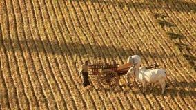 Unidentified Burmese farmer work at rice field. Bagan. Myanmar (Burma) stock video footage