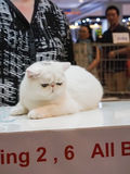 Unidentified cat be pungent in 1st TICA Thailand Cat Show Royalty Free Stock Images