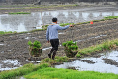 Unidentified Chinese farmers work rice field Royalty Free Stock Images