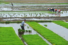 Unidentified Chinese farmers work rice field stock photo