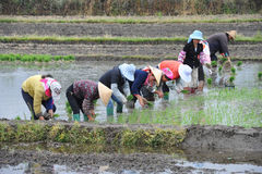 Unidentified Chinese farmers work rice field stock photos
