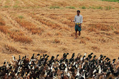 A duck farmer guides his ducks in the rice fields Royalty Free Stock Photography