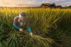 Unidentified farmer are harvesting rice and carries rice from the farm home Stock Photos
