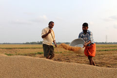 Farmers engage in the post harvest jobs in the rice fields Royalty Free Stock Photos