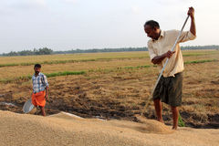 Farmers engage in the post harvest jobs in the rice fields Stock Image