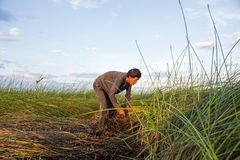 Unidentified farmers harvest cyperus malaccensis in Nga Son, Tha Royalty Free Stock Images
