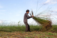 Unidentified farmers harvest cyperus malaccensis in Nga Son, Tha Stock Image