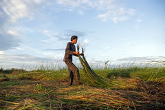 Unidentified farmers harvest cyperus malaccensis Stock Images