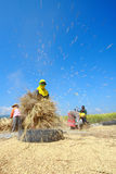 The unidentified farmers harvesting rice Stock Photo