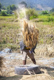 The unidentified farmers harvesting rice Royalty Free Stock Images