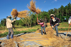 An unidentified farmers isthreshing grain after harvesting Royalty Free Stock Images