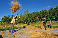 An unidentified farmers isthreshing grain after harvesting Stock Photo