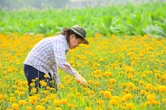 Unidentified female worker is picking marigold flowers. Stock Photo