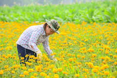 Unidentified female worker is picking marigold flowers. Stock Images