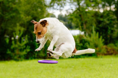 Unidentified flying object: dog flying on disc toy Stock Photo