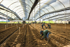 Unidentified gardeners, planting potatoes calla lily Stock Images