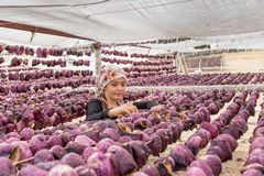 Traditional eggplant drying process in Gaziantep, Turkey royalty free stock photos