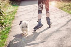 Unidentified girl on rollers with white dog in the park. Sunny day, toned photo royalty free stock images