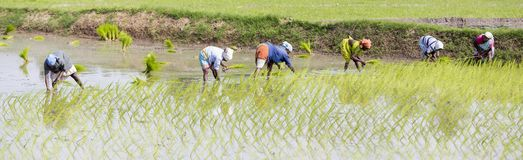 Unidentified group of women transplanted rice shoots they plant the new crop in the rice paddy. PONDICHERY, PUDUCHERRY, TAMIL NADU - INDIA - SEPTEMBER CIRCA stock images