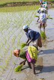 Unidentified group of women transplanted rice shoots they plant the new crop in the rice paddy. PONDICHERY, PUDUCHERRY, TAMIL NADU - INDIA - SEPTEMBER CIRCA stock image