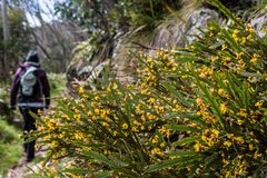 Wildflowers and hiker on Mount Hotham, Victorian Alps, Australia Stock Photography