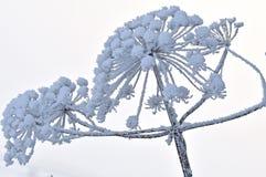 Unidentified hogweedHeracleum sphondylium Royalty Free Stock Photography