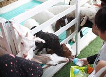 Unidentified kids feed young sheep lambs. With baby bottle behind a white wooden fence Royalty Free Stock Photo