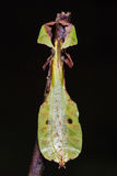 Unidentified Leaf insect Royalty Free Stock Images