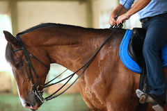Unidentified male rider is training a young purebred stallion in riding hall Stock Photography