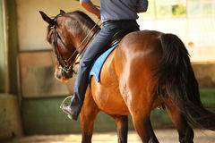 Unidentified male rider is training a young purebred stallion Stock Images