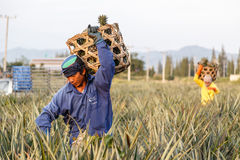Unidentified man with big bamboo basket and make keeping pineapple Royalty Free Stock Image