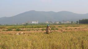 Unidentified man bringing a rice bundle stock footage