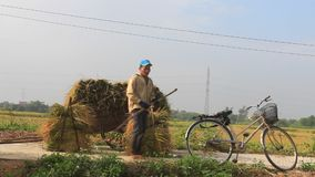 Unidentified man bringing a rice bundle. HAI DUONG, VIETNAM,  unidentified man bringing a rice bundle on a rice field on October 26, 2014 in Hai Duong, Vietnam stock video footage