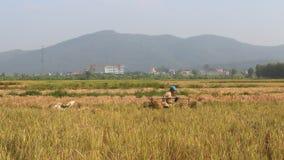 Unidentified man bringing a rice bundle stock video