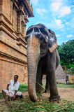 An unidentified man sits next to an elephant. royalty free stock photography