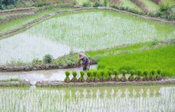 Terraced rice fields in Yuanyang county, Yunnan, China. An unidentified man working in rice fields in Yuanyang county, Yunnan province of China. Yuanyang county Royalty Free Stock Photos