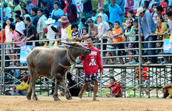 The unidentified men control their buffalo for running in a racing sport Royalty Free Stock Photography