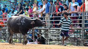 The unidentified men control their buffalo for running in a racing sport, and the unidentified villagers cheer up Stock Images